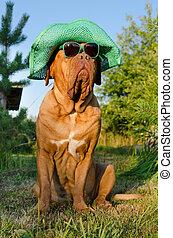 perro, sombrero, anteojos, jardín