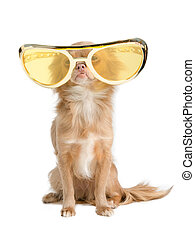 Dog with huge glasses - Tiny chihuahua dog with funny huge...