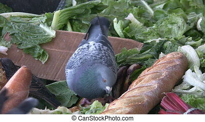Pigeons feeding - Pigeons feeding on bread in a compost bin...