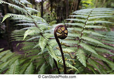 New Zealand Natives Plants and Trees - Koru - new leaf of...