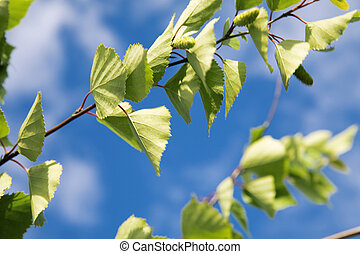 green leaves of young birch on a background blue sky