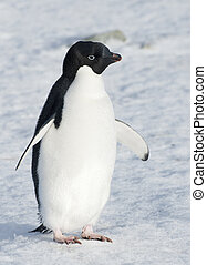Adelie penguin standing on the snow