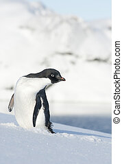 Adelie penguin looking to the side