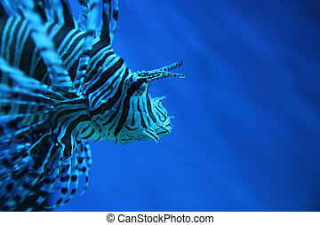 lion fish dragonfish, scorpionfish in the deep blue sea