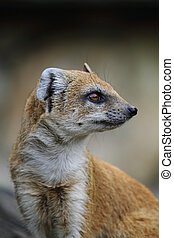 head of weasel  - head of nice weasel in the nature