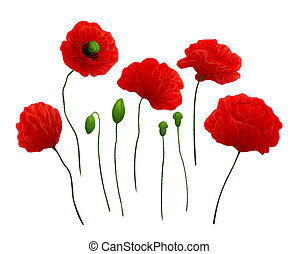 Poppies - Beautiful red poppies on white background