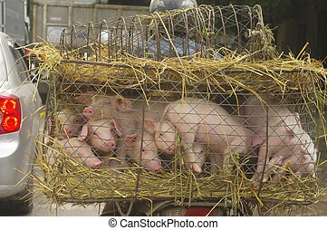 Transport of small pigs - The pig is an animal very common...