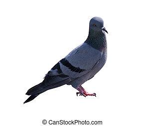 pombo, isolado, branca, fundo