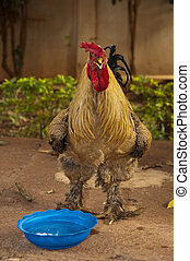 A rooster in a farmyard, in Mali, Africa