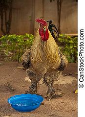 Un, gallo