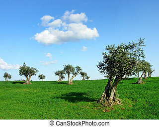 Olives tree in field
