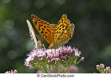 Argynnis paphia, Silver-washed fritillary on Hemp-agrimony,...