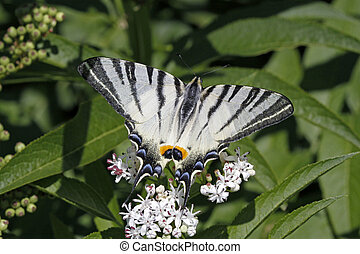 Scarce Swallowtail in Italy - Scarce Swallowtail butterfly...