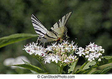 Scarce Swallowtail butterfly in summer, Iphiclides...