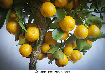 Calamondin - Close up of Calamondin Tree