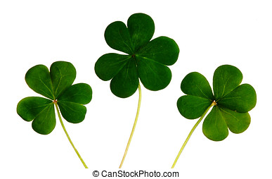 Shamrocks - The shamrock is a three-leafed old white clover....