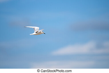 Gull-billed Tern flying over the sea, Sri Lanka