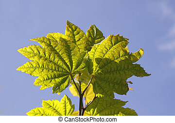 Acer circinatum, maple leaves in Germany