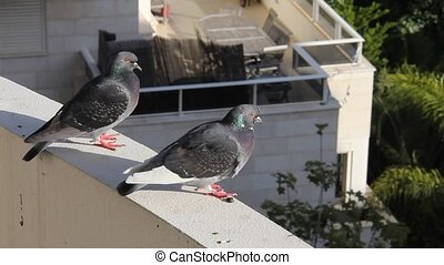 Pigeons in the city- urban problem - The urban problem - the...