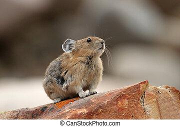 Pika - Jasper National Park - Pika Ochotona princeps Sitting...