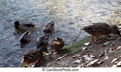 Ducks Eating And Swimming