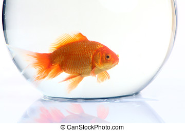 Gold fish in the bowel. Isolation on the white