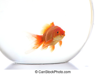 Gold fish in the bowel Isolation on the white