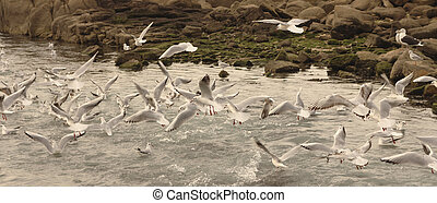 Seagulls eating fish in the sea. - Seagulls eating fish near...