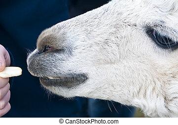 Alpaca eats of a hand - Alpaca