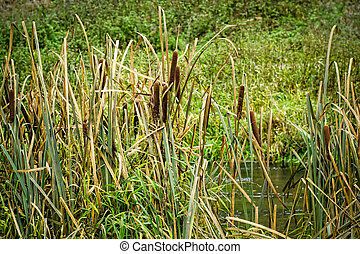 reeds at the pond in autumn time