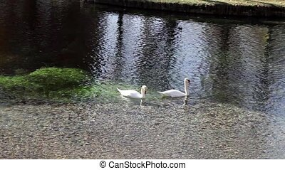 Swans And Ducks - Creek with swans and ducks - Campello sul...