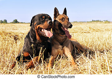 malinois and rottweiler - picture of a purebred belgian...