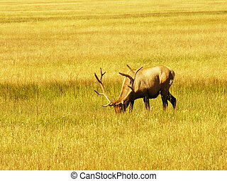 Yellowstone Fauna - Fauna in Yellowstone during Summer...