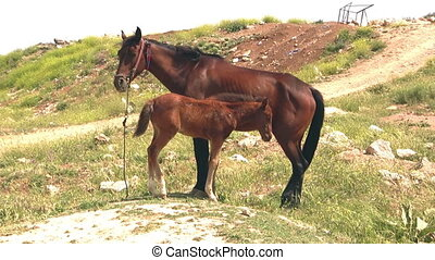 colt and mare feeding.