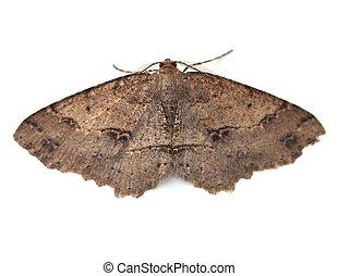 Moth - Signate Melanolophia Moth Melanolophia signataria on...