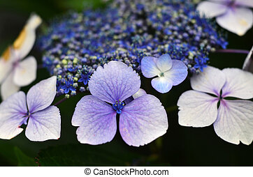 Flowers - Purple Hydrangea - A close up of a purple...
