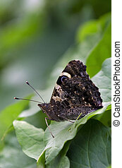 Butterfly - Red Admiral - A New Zealand red admiral...