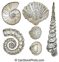 Shells of marine fauna