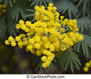 Mimosa - Twig with fluffy blooming mimosa flowers in spring