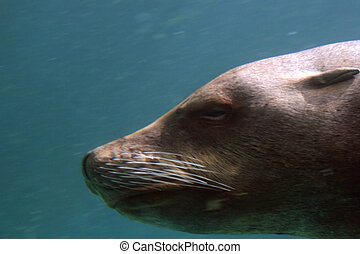 seal underwater closeup - seal head - underwater closeup