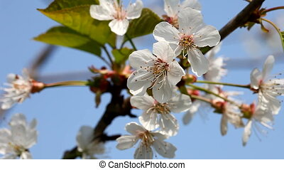 Apple Flowers on the spring wind