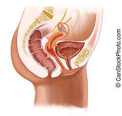 female urinary system - medical illustration for the...
