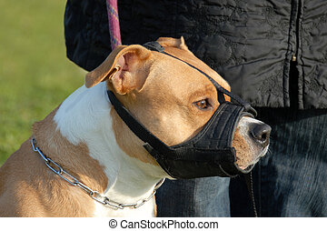 dog and muzzle - head of purebred american staffordshire...