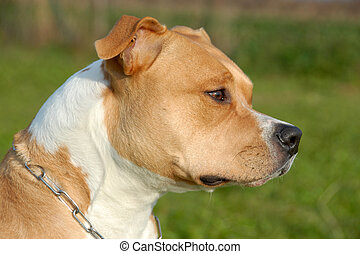 american staffordshire terrier - head of purebred american...