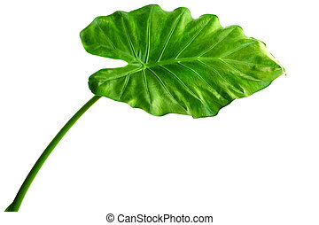 Alocasia machrorhiza - Giant Taro plant leaf also known...