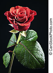 red rose - beautiful red rose with dew drops on a black...