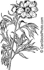 Flower Paeonia - Branch of flower Paeonia isolated on whte...