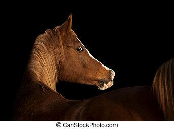 arab horse on black