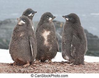 Kindergarten Adelie penguin chicks