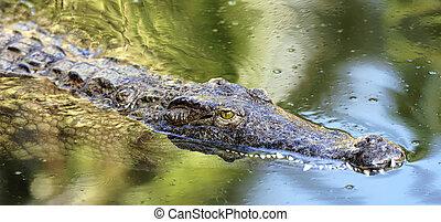 swimming crocodile